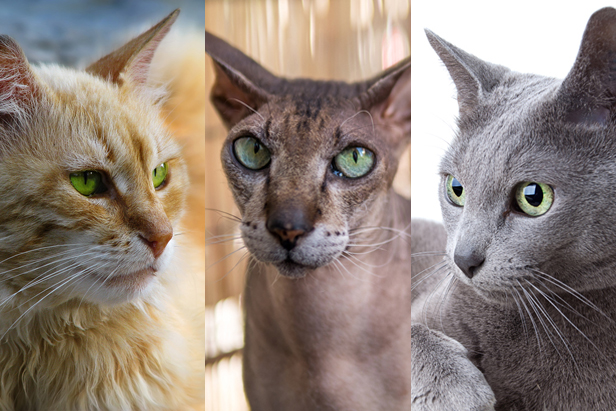 8 Popular cat breeds native to Russia