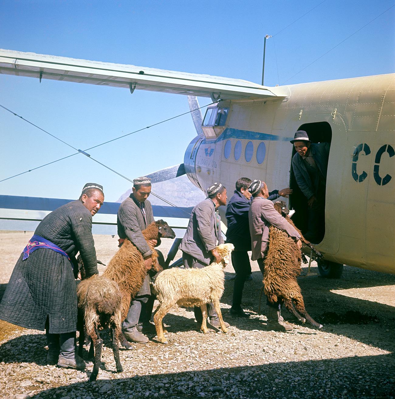 Menggiring dan memasukkan domba ke pesawat An-2 di Republik Sosialis Soviet Uzbekistan pada 1967. Sumber: E. Vilchinskiy/RIA Novosti