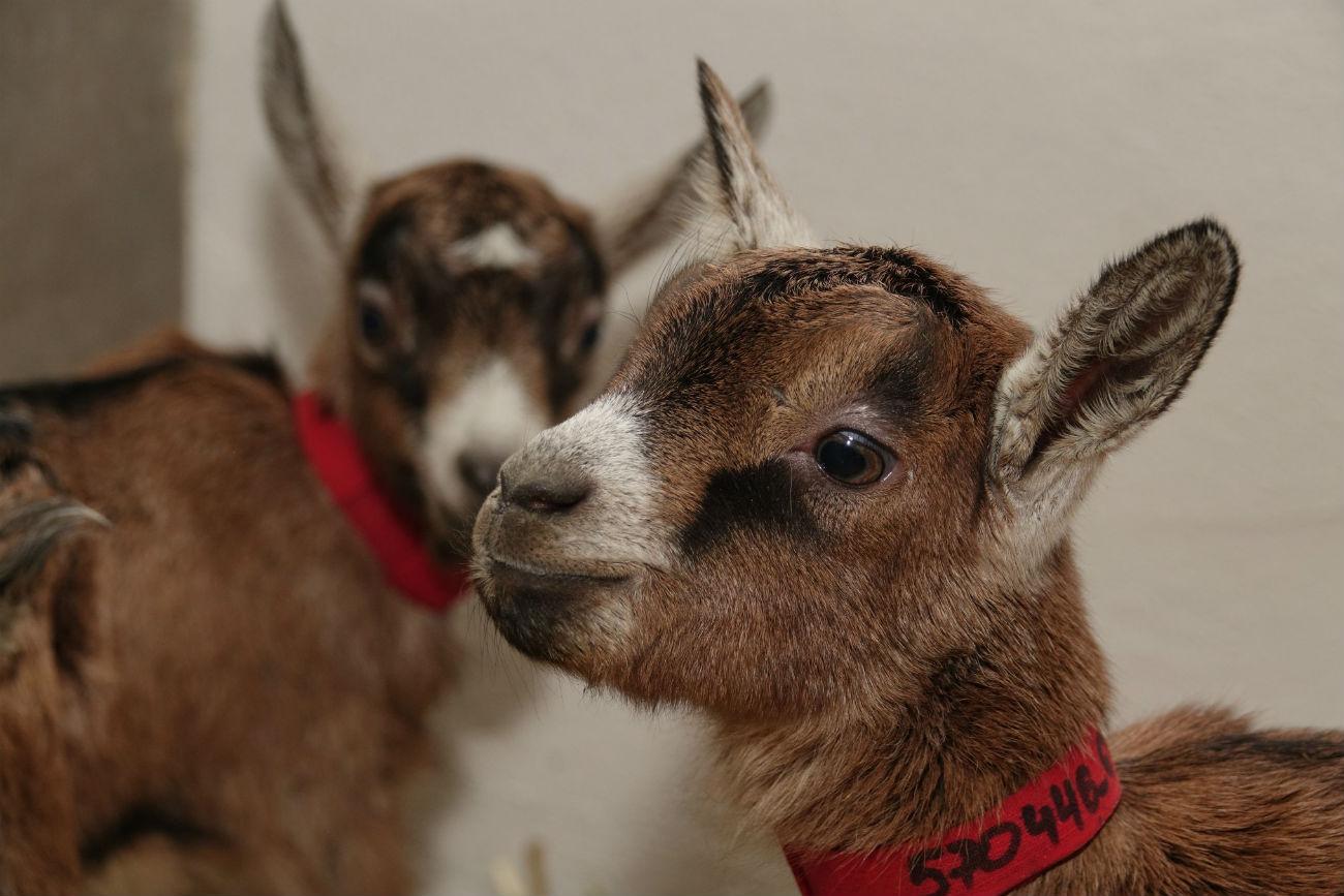 Francoske koze bodo na ruske mize prinesle prefinjeni sir. Vir: UGMK-Agro.