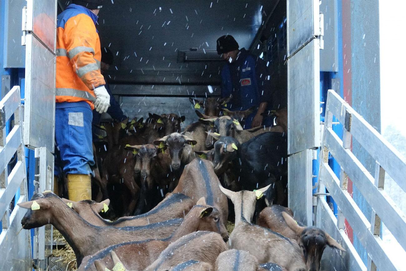 Farma koz blizu Jekaterinburga. Vir: UGMK-Agro