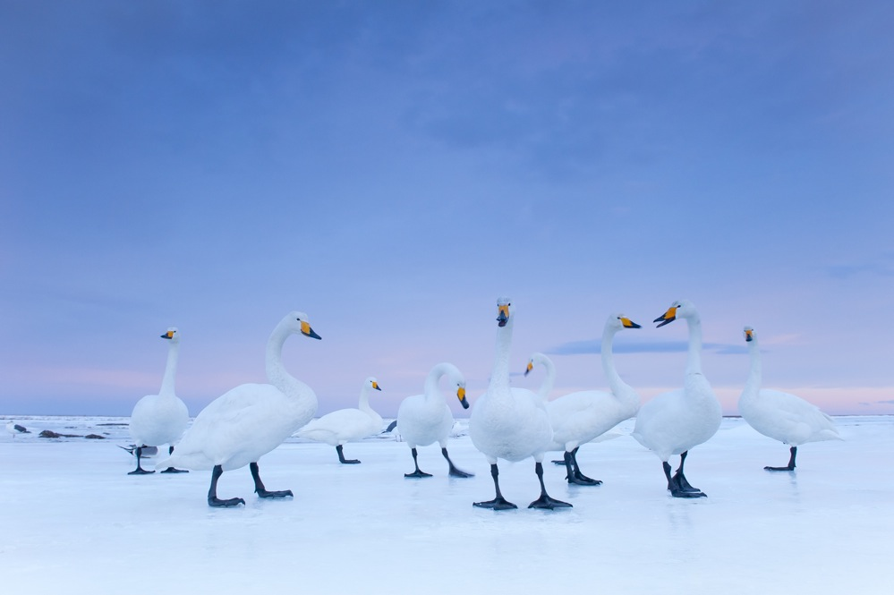 2nd Prize Nature Stories. Stefano Unterthiner, Italy, for National Geographic magazine. Whooper Swans at dawn, Hokkaido, Japan, January.