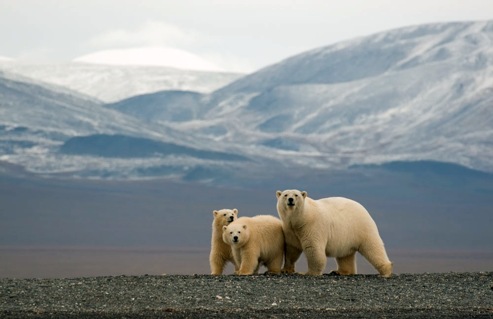 "Wrangel Island in Chukotka is famous as ""the home of the polar bear""."