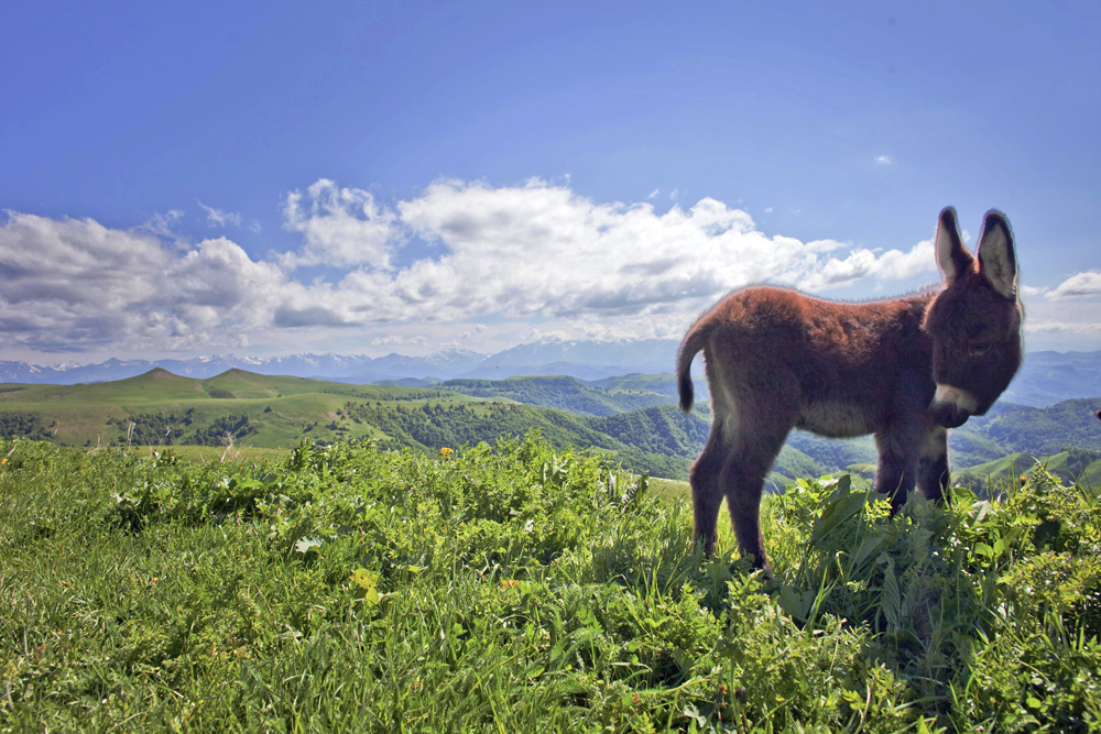 A donkey grazing in the mountains