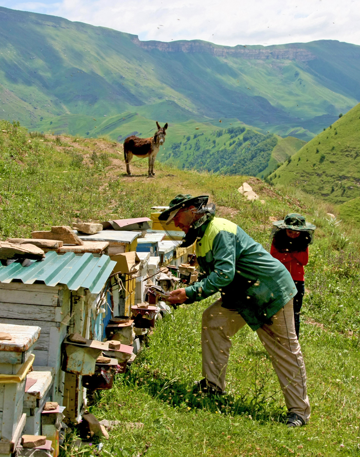 In the mountainous regions, the economy was dominated by the raising of sheep and goats, and also some horses, cattles, mules. The apiculture is also well developped.  Meat and milk products were major components of the Lak (Laks are an indigenous people of Dagestan) diet, although they also grew barley, peas, wheat and some potatoes.