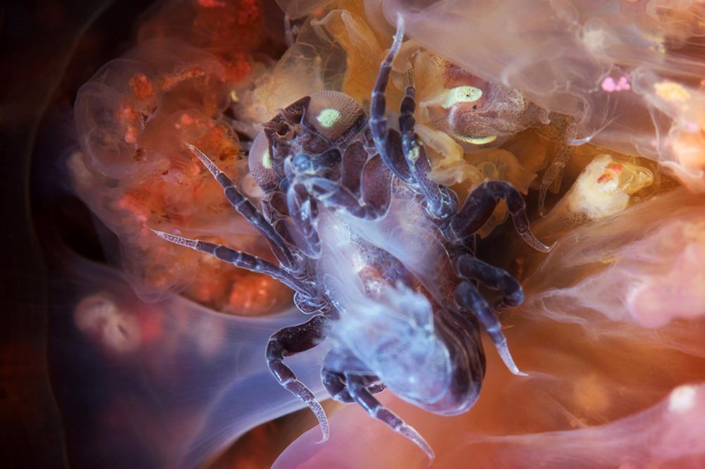 Hyperia galba são crustáceos capazes de comer uma água-viva por dentro