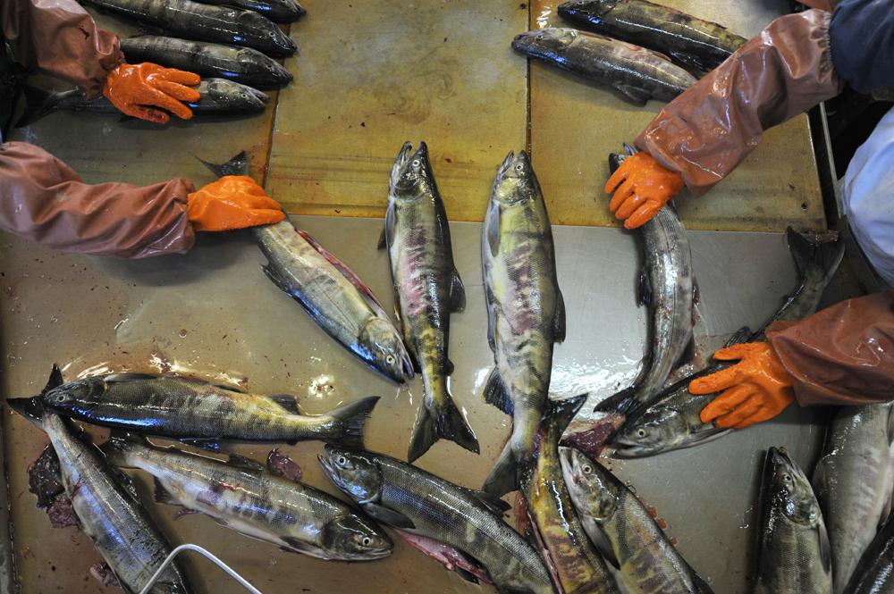 Heute, da die Störe vom Aussterben bedroht sind, dürfte sich am Status des Kaviars als einer seltenen und teuren Delikatesse nichts ändern. Russischer Kaviar wird an der Wolga, am Kaspischen Meer und im Fernen Osten hergestellt.