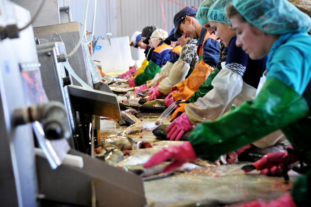 """Der teuerste Kaviar ist der """"schwarze Kaviar"""" (russ. tschernaja ikra). Er wird aus drei Störarten gewonnen, dem Osseter, dem Beluga-Stör und dem Sevruga-Stör oder Gesterntem Stör. Aber auch roter Kaviar ist eine verbreitete Delikatesse. Er kommt von Fischen wie Lachs, Rotlachs, Ketelachs, Seehase und Thunfisch."""