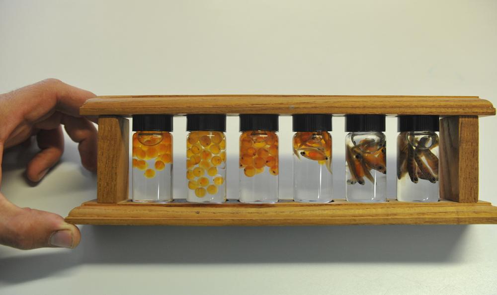 Kaviar wird mit Wasser gereinigt, die Membrane und Verunreinigungen werden entfernt. Danach wird er in speziellen Metallbehältern gesalzen. Kenner mischen den Kaviar verschiedener Störe und wählen sie dabei nach Farbe, Konsistenz und weiteren, nur ihnen bekannten Eigenschaften. Die Salzlake darf nicht zu stark sein - 45 Gramm Salz auf einen Liter Wasser.