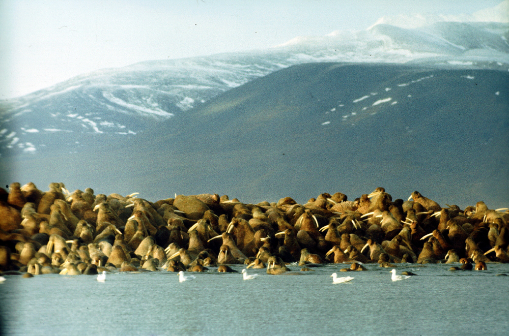 A Ilha de Wrangel, no Oceano Ártico, está localizada na intersecção dos hemisférios Ocidental e Oriental. Em 1976, a Reserva da Ilha de Wrangel foi criada para estudar e proteger os sistemas naturais das ilhas do Ártico, incluindo a pequena ilha vizinha de Herald. Esse pedaço de terra tem cerca de 7.670 quilômetros quadrados, dos quais mais da metade estão cobertos por montanhas. Pequenas geleiras, lagos de tamanho médio e tundra ártica também compõem a paisagem local. Entre os cumes das montanhas há vales com inúmeros rios.