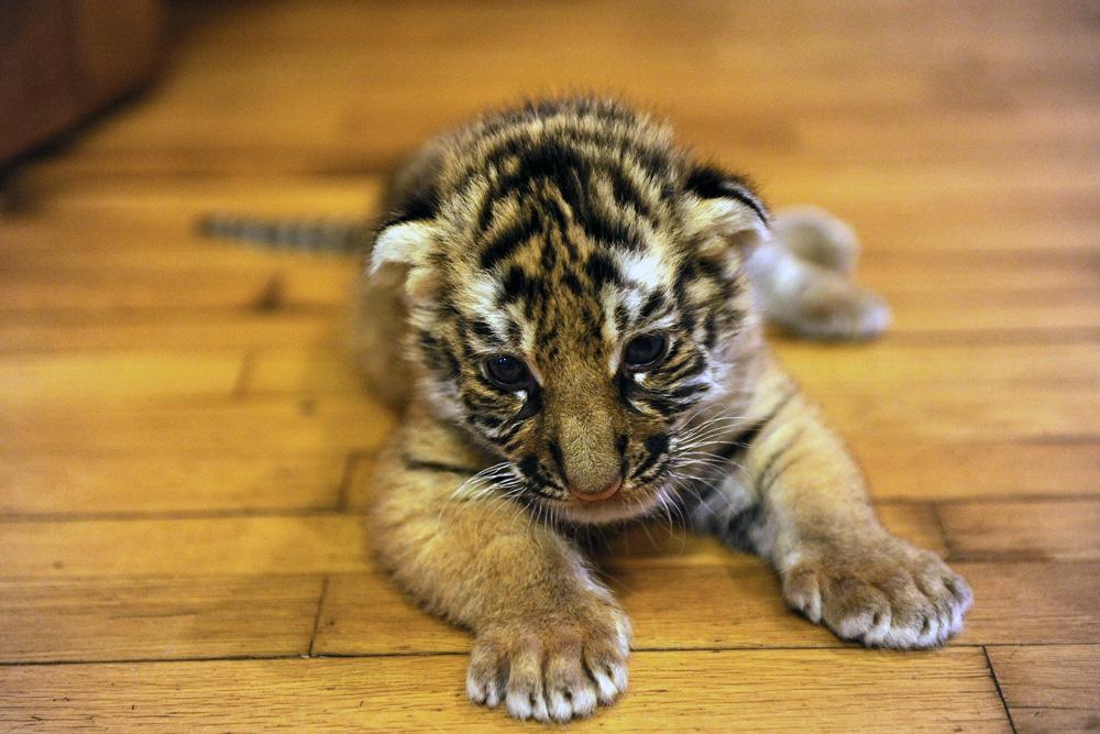 ちなみに、6ヶ月前に、彼らの母親のバギーラは、生まれたての2匹の自分の子虎を拒絶した。彼らは、クレオパトラと呼ばれるシャーペイ犬に育てられた。
