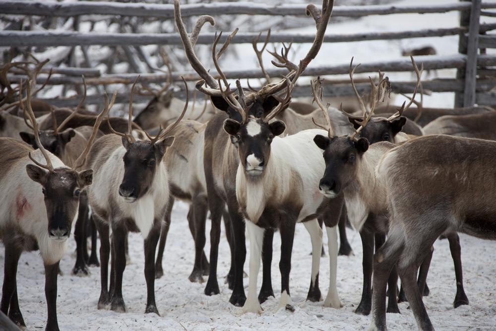 Surto de bactéria causou morte de 2.000 renas no norte da Sibéria