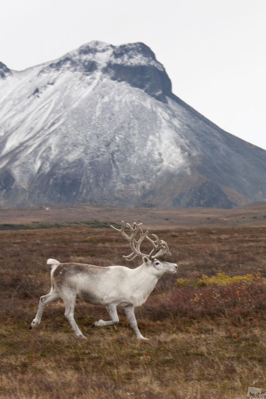 Du kannst ganz allein sein // Nördlicher Hirsch am Rande der Esso Siedlung, Kamtschatka