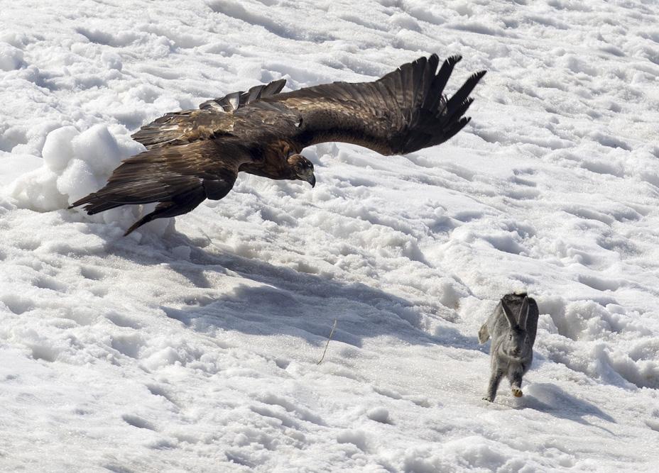 Lors de la formation de l'aigle pour chasser le lièvre ou le renard, le chasseur créé un épouvantail bourré de foin ou de paille, et met un morceau de viande sanglante sur sa tête.