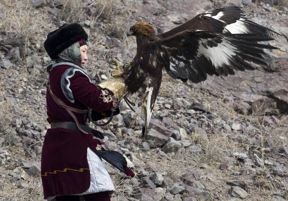 L'assistant du chasseur court en faisant traîner l'épouvantail sur une longue courroie, et au moment opportun, le chasseur retire la cagoule de la tête de l'oiseau afin qu'il aperçoive la nourriture. Réalisant que sa proie s'échappe, l'aigle royal le rattrape, et atterrit sur elle. L'oiseau a besoin d'enfoncer ses griffes fermement dans l'épouvantail, et alors seulement, il peut commencer à picorer la viande.
