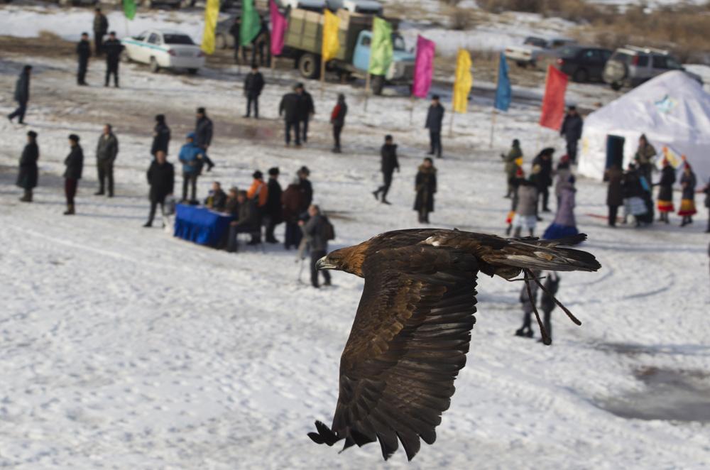 L'aigle royal, comme la plupart des prédateurs plumés d'Europe, est sous la protection de la législation nationale et d'accords intergouvernementaux. Il est répertorié comme une espèce rare dans le livre rouge de la Russie.