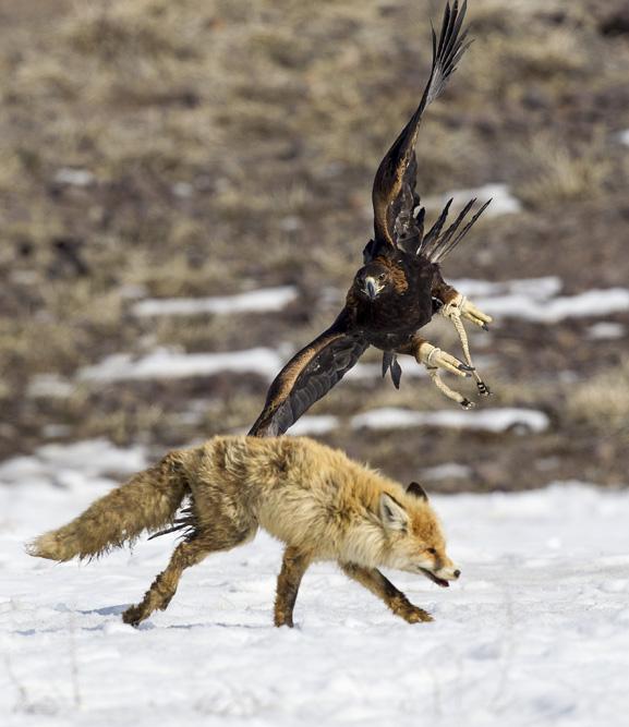 Si la proie est un renard ou un lièvre, le seul aigle capable de l'attraper est un aigle royal. La forte et puissante constitution de l'oiseau, avec ses énormes griffes, son bec puissant et son envergure pouvant aller jusqu'à plus de deux mètres, est une menace réelle pour de nombreux grands oiseaux et animaux, y compris les loups.