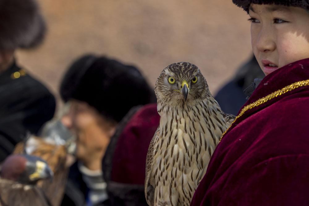 成鳥が最高のハンターになるが、多くの場合、狩人は巣から非常に若い狗鷲を捕る。成鳥は飼いならし、訓練するのがはるかに困難だ。
