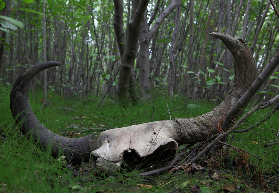 Le crâne d'un bison ancien, qui vivait à l'époque des mammouths, n'est pas la plus précieuse trouvaille. Même s'il est vérifié par un musée, les acheteurs payeront seulement quelques milliers de roubles pour l'obtenir.