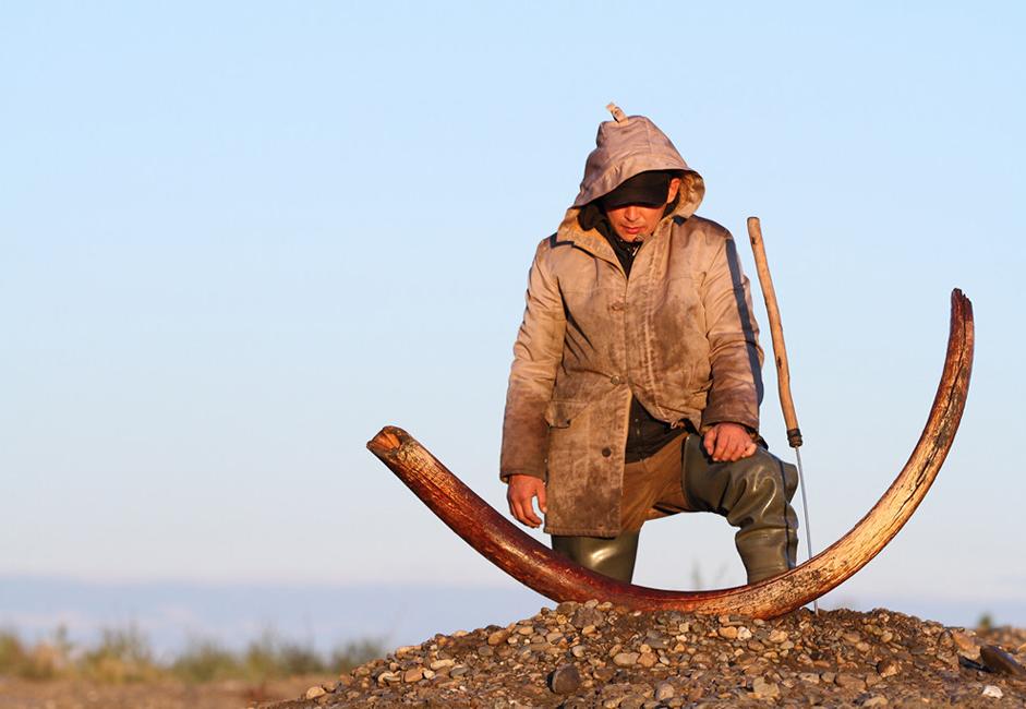 La « fièvre des défenses » pousse ces pêcheurs endurcis à rechercher des exploits aventureux. Dans les environs du village de Belaïa Gora, l'on trouve en moyenne environ 3,5 tonnes de défenses de mammouth par an, dont la plupart se compose de fragments. Les défenses de collection sont très prisées.