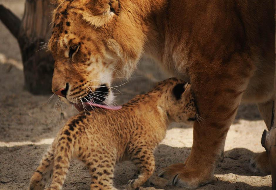 """ノヴォシビルスク動物園は現在、あるユニークな動物の飼育場所になっている。それは「リリガー」とよばれる、ライガーとライオンの交雑種だ。最初のリリガーは、この動物園で2012年に生まれた。一番最初のリリガーは、映画""""ライオン・キング2""""の主役にちなんで、キアラと名付け られた。"""