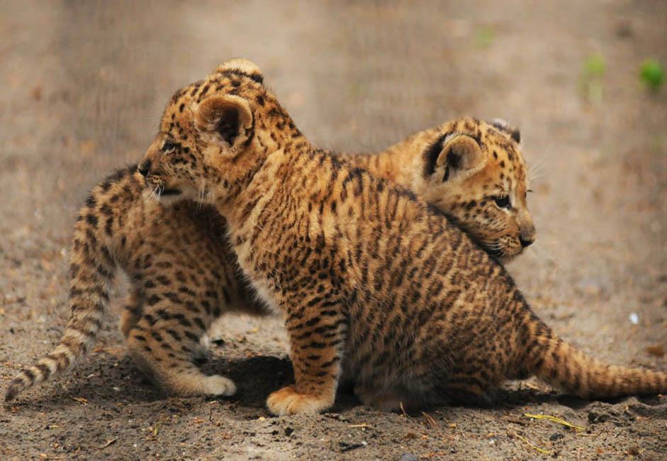 多婚性の動物種(雌が何頭もの雄と交尾することがあるライオンを含む)は、単婚性の種(トラを含む)よりも父系遺伝子から受ける影響がより強いと仮定されている。ライガーは、子どもの成育をより強力に促進するライオンの遺伝子を引き継ぐ。一方で、雌のトラの遺伝子は、それを阻害したり弱体化したりする。これにより、ライガーがライオンよりも大型で、タイゴン(父がトラで母がライオンの交雑種)がトラよりもより小型である理由の説 明がつく。