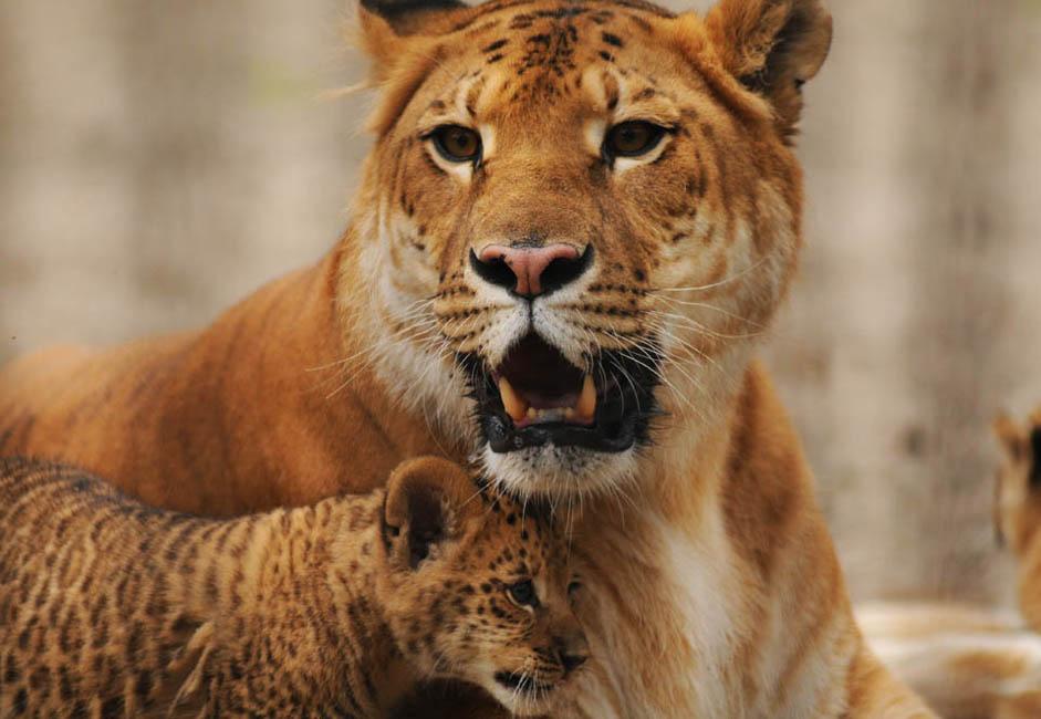 自然界には存在しない希有な動物としてライガーは象徴的な存在であるため、ノヴォシビルスク州のザエルツォフスキー地方では、ジータを記念してその紋章に採用されている。ノヴォシビルスクの生徒たちはジータについて作文を書かされ、子どもの「芸術宮殿」の 1つは「ライガー」と呼ばれている。