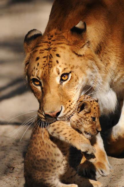 この動物園のスターであるジータは優しくて遊び好きだ。彼女は、知らない人に対して驚きと好奇心の表情を示すが、なじみのある顔に対しては微笑みに近いような表情で接する。毎日、ジータは8キロの肉を平らげるので、その外見は良く肥やされているように見える。