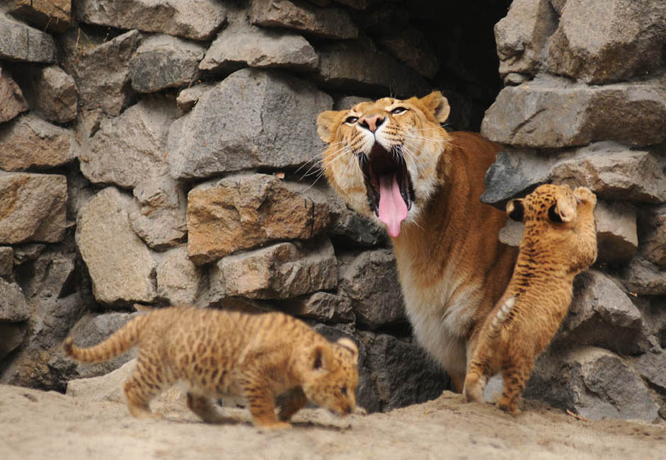 「ジータはこの地方のほとんど全員の子どもの顔を覚えているんですよ」とローザ・ソロビョーワさんは言う。「当然ジータの囲いは高い防護柵に囲まれているので、檻に近寄って彼女をなでたりすることはできません。なんといっても彼女は捕獲動物ですから、いつ彼女の本能が覚める可能性があるのか、誰にも分かりません。