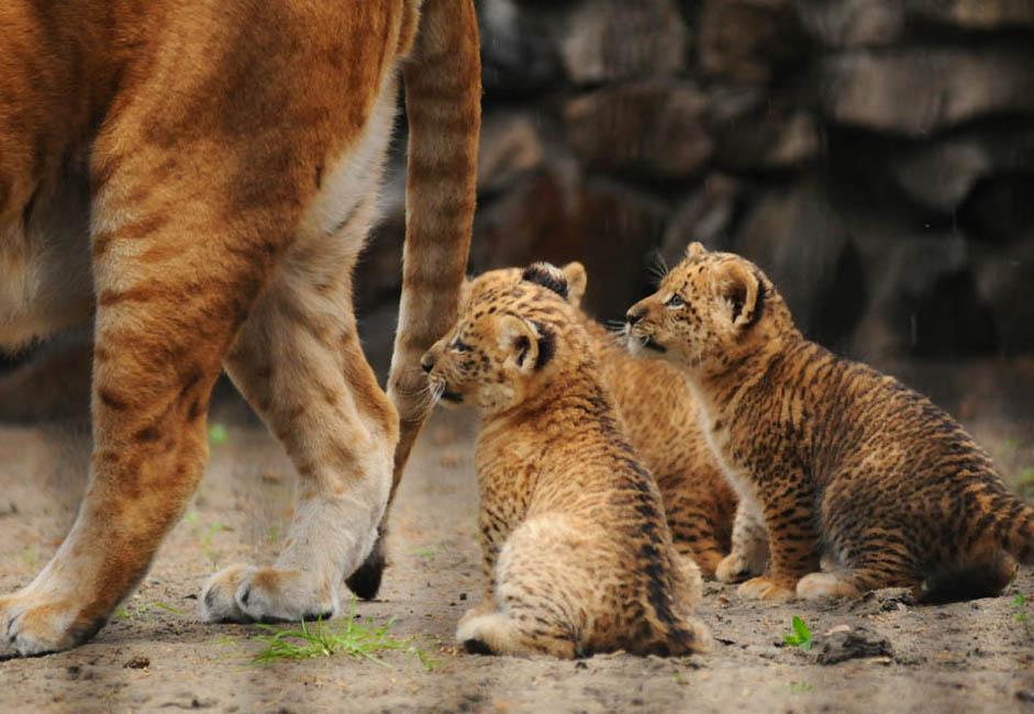 その後3匹のリリガーの子が生まれた。ライガーの母親ジータの母乳がすぐに出なくなり、地元のネコが「乳母」役を果たさなければならなかったが、5月に生まれたリリガーたちは、かなり活発に育っている。