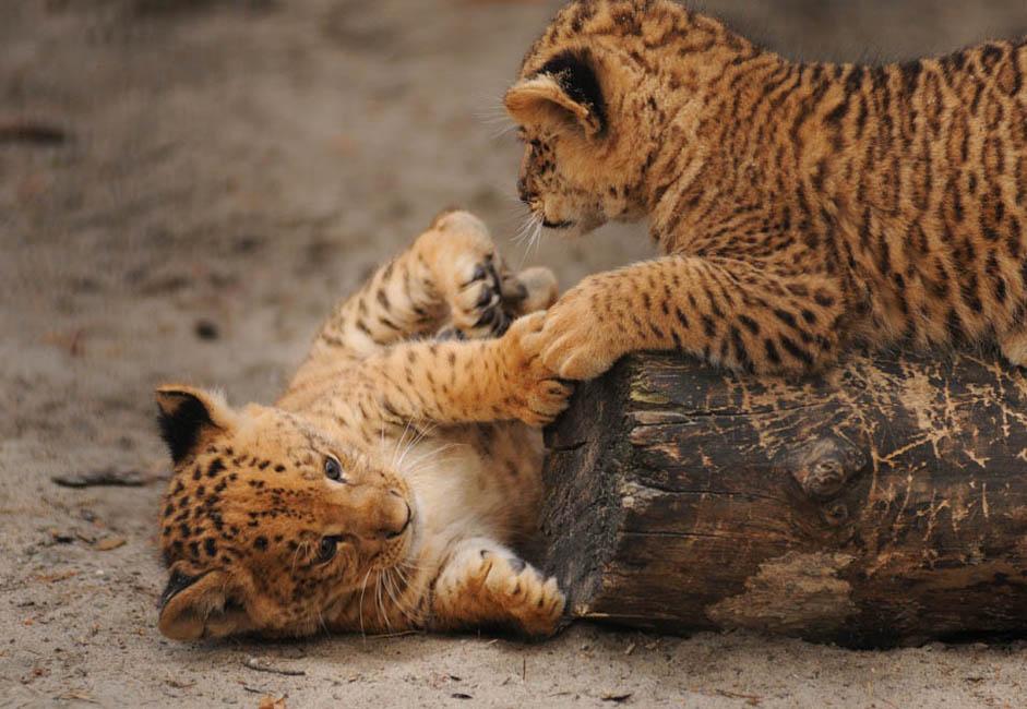 リリガーの子たちは1日2回エサを与えられる。このちびっ子動物たちは、それでも1日に7キロの肉、うさぎ1匹、ミルク800グラムと卵1個を平らげる。