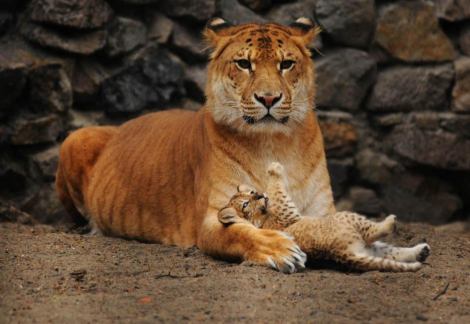 彼らの母親のジータは、この動物園で2004年に生まれた。ライガーとは、ライオンの雄とトラ(タイガー)の雌との交配による雑種の子である。サイズと外見という点では、ライガーは、更新世期のホラアナライオンや、アメリカライオンに類似している。