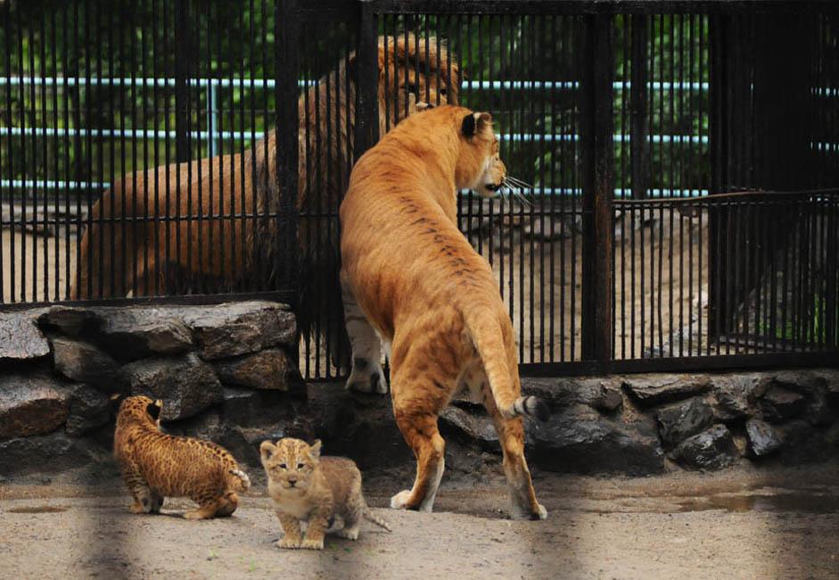 """ジータの出生は自然に発生した出来事で、全く意図的なものではなかった。「ユニークな交雑種をつくろうなんて、誰も考えてもいませんでした」と、ノヴォシビルスク動物学公園の上級技術士のローザ・ソロヴィヨワさんは、確信をもって話す。「スペースを節約するために、ライオンとトラ の子を2頭、同じ囲いに入れたんです。それはよくあることです。捕食動物の子は、食べ物をめぐって喧嘩する必要さえなければ、一緒に仲良く過ごせるものです。ライオンとトラの子たちは仲良くなり、跳ね回ったり、鬼ごっこをして一緒に遊んでいました。彼らが成長してきたら、もちろん別々の囲いに入れましたが、2頭の""""愛人たち""""は動物園全体をひっきりなしに忙しくさせました。"""