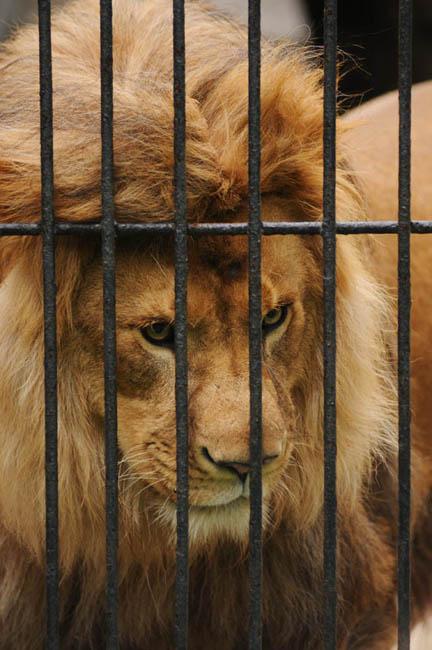 リリガーたちの父親は、アフリカライオンのサムだ。当初、交雑種の大型ネコたちは、ジータのように見世物用動物園やサーカスのような所で自然に生まれていた。しかし、これらの一風変わった動物たちに対して人々が興味津々であることに調教師たちが気づくと、意図的にリリガーが育成されるようになった。ヨーロッパのサーカスでは、こうしたネコを金もうけになる「招き猫」と呼んでいる。