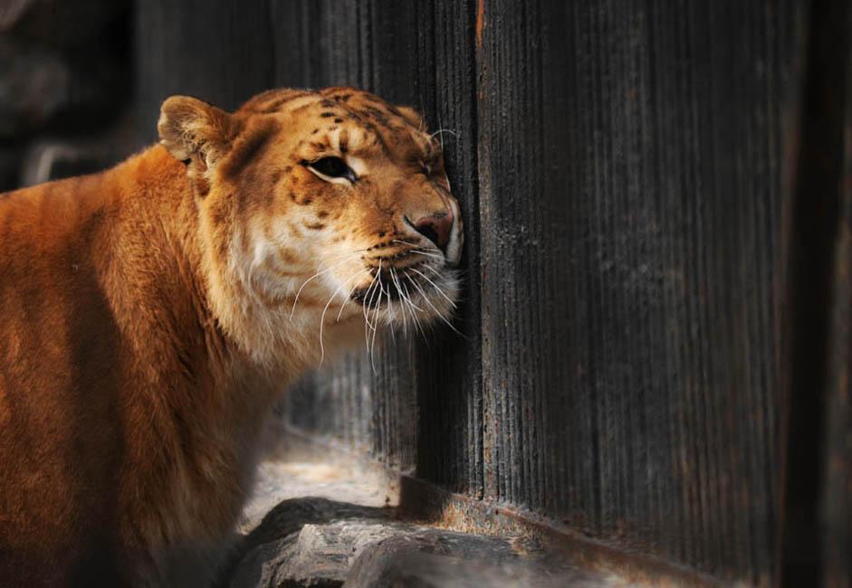 """ライガーは、世界一大型のネコだ。ちなみに世界一大きなライガーは、米国マイアミにあるインターアクティブ型テーマパークの""""ジャングル・アイランド""""で飼育されているヘラクレスだ。ヘラクレスの体重は410キロで、飼い猫100匹、あるいは大型のライオン2頭か、人間5〜6人分に匹敵し、その運送力は標準的なエレベーターと同じだ。ヘラクレスは、後足で立ち上がった場合の身長が4メートル近くにまでおよぶ巨体だ。"""
