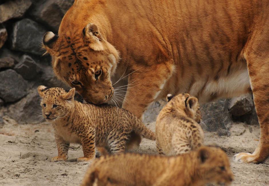 珍しい例外を除いて、ほとんどの雄のライガーにはたてがみがないが、ライオンとは違って、ライガーは泳ぐことができ、実際に泳ぐ。もう一つの独特な特徴は、雌のライガーには生殖能力があるということだ。これはネコ科の交雑種では珍しいことだ。