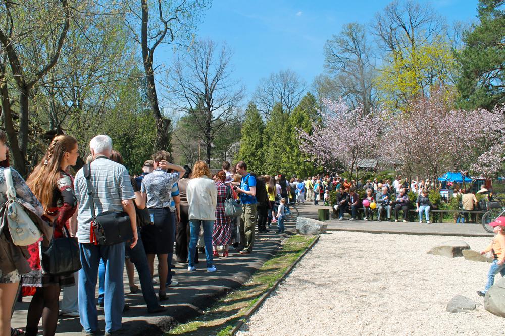 今年は5月8日に桜が咲いた。ピークの9~10日、ロシア科学アカデミー中央植物園日本庭園では、花見客の行列ができた。庭園に入るのに30~40分かかった。