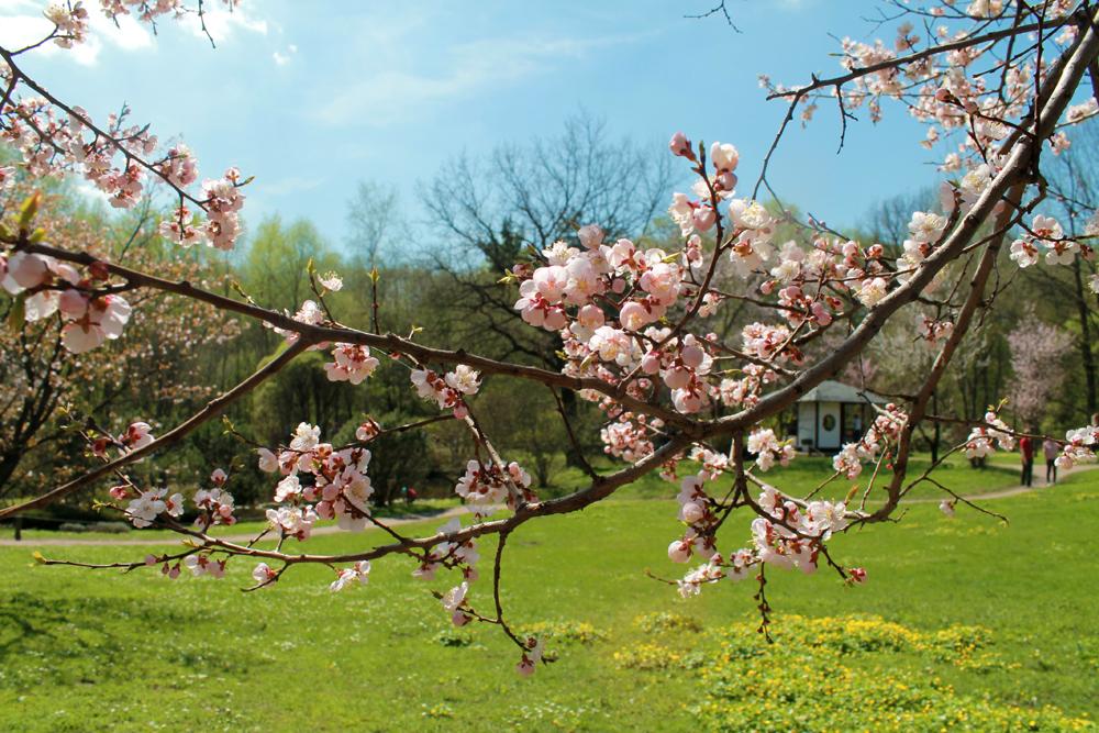 毎年50本ほどが花を開く。ロシアの中央気候帯では5日ほど花が咲いている。