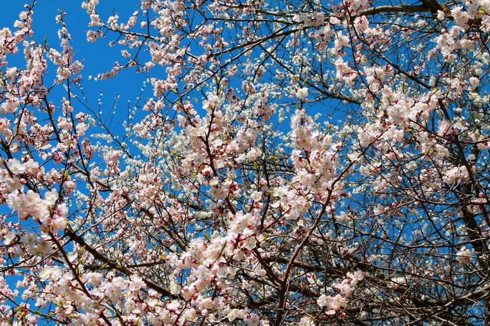 桜の木が成長し、花が満開に咲くまでには、植樹されてから5年ほどかかる