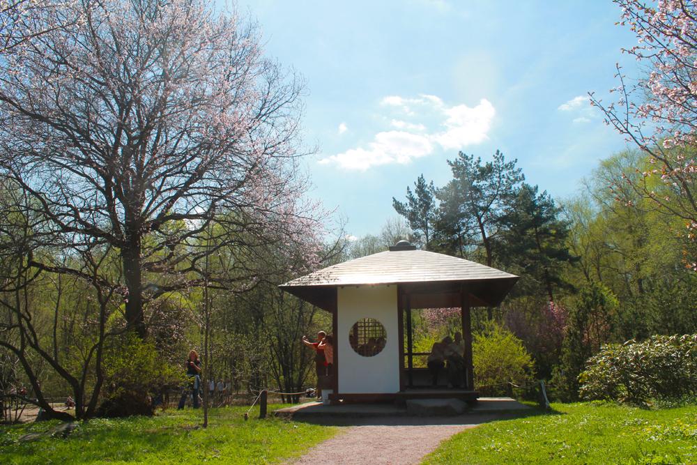 ロシア科学アカデミー中央植物園の「日本庭園」は1987年に開園し、このために桜の木が日本から運ばれた。安倍晋太郎外務大臣(当時)がその1年前に、最初の木の植樹を行っていた。庭園の設計を行ったのは、造園家の中島健氏。