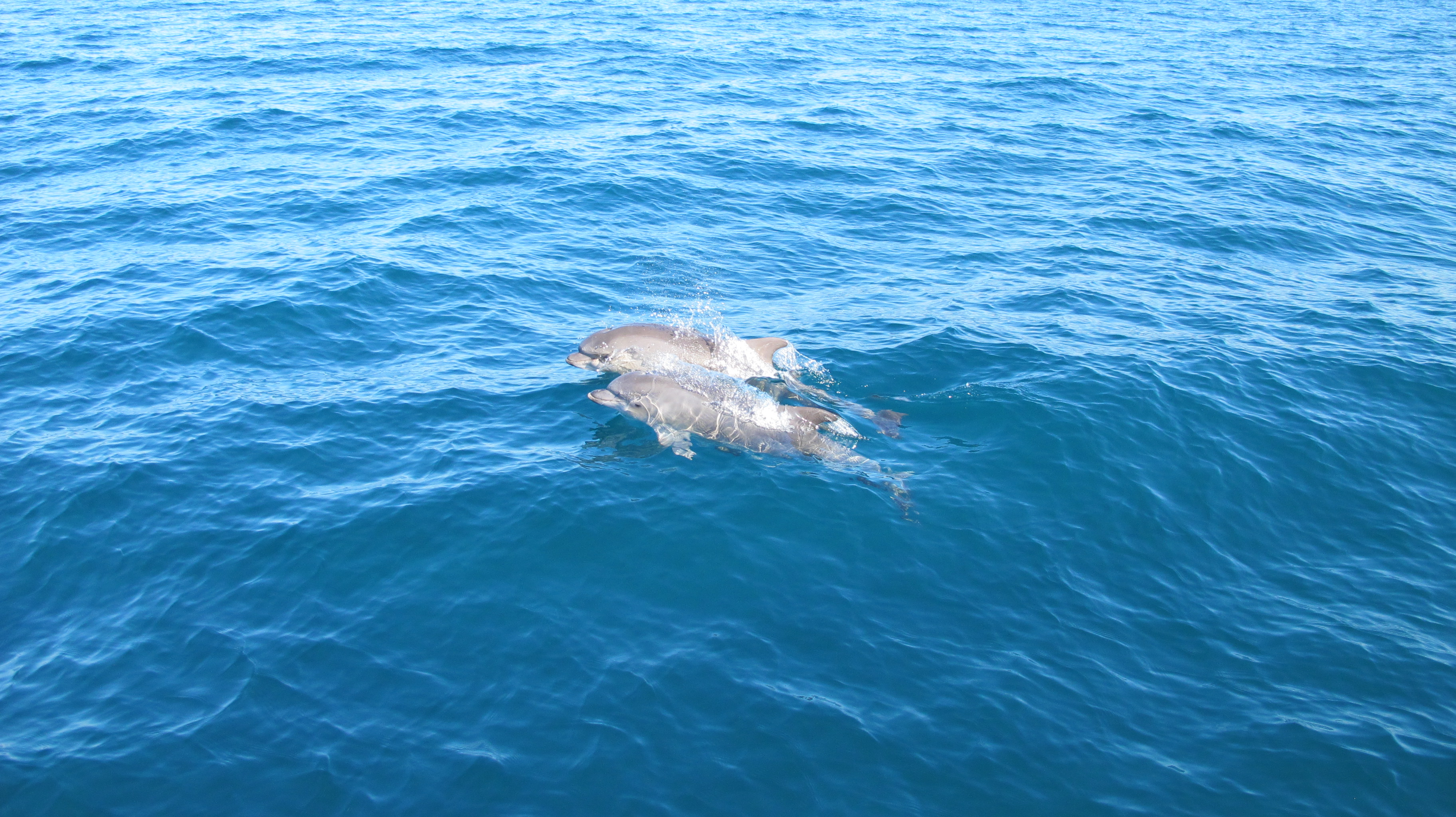 Los yates han ido acompañados en todos los trayectos por grupos de delfines.