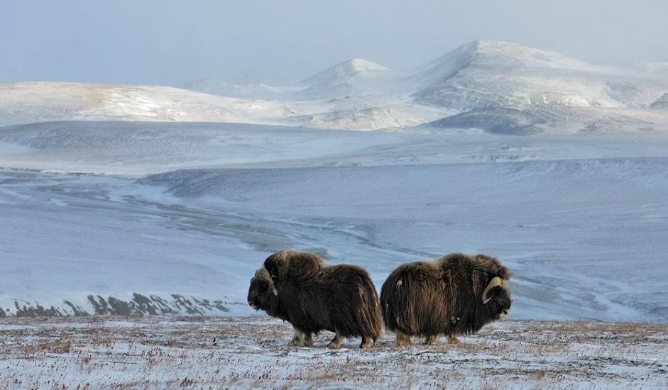 Mošusna goveda s Otoka Vrangelja / Otok Vrangelja nalazi se u Sjevernom ledenom oceanu, a ime je dobilo po slavnom ruskom moreplovcu iz 19. stoljeća, Ferdinandu Petroviču Vrangelju.