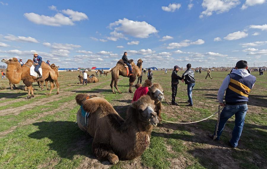La ville de Tri Potoka (Trois canaux), située en Astrakhan à 1400 km de Moscou, accueille des courses de chameaux sur sa piste - un événement peu commun en Russie. Cette manifestation spectaculaire existe depuis 2006. Cette année, les jockeys et leur fidèles chameaux se sont rassemblés sur le camélodrome, ainsi que des amateurs de spectacles fascinants et uniques en leur genre.