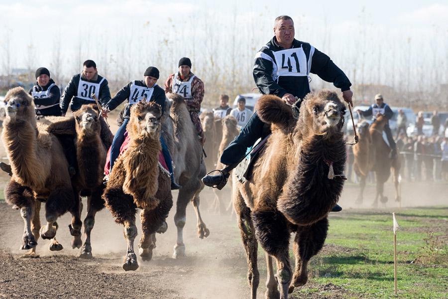 ラクダは非常に頑固なので、熟練した騎士しかラクダを走らせる事が出来ない。ラクダの体重は平均1トンであるが、レースでは馬と同じぐらいのスピードで走ることができる。