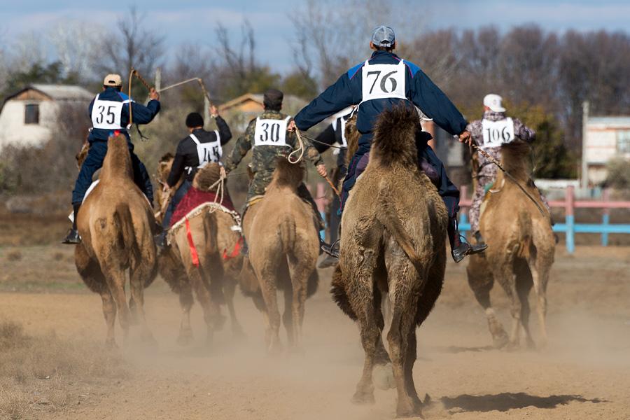 カルムイク・バクトリア・ラクダは生息域の気候が快適で、血統がとても良いので速く走ることができる。アンブルで歩む時、鞍あるいは馬具を着けていても、カルムイク・ラクダは速度40キロまで出す事が出来る。気性は優しく、飼い慣らす事が容易で乗る事も簡単である。