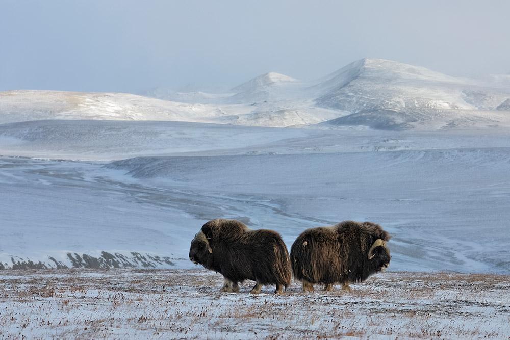 Bœufs musqués de l'île de Wrangel