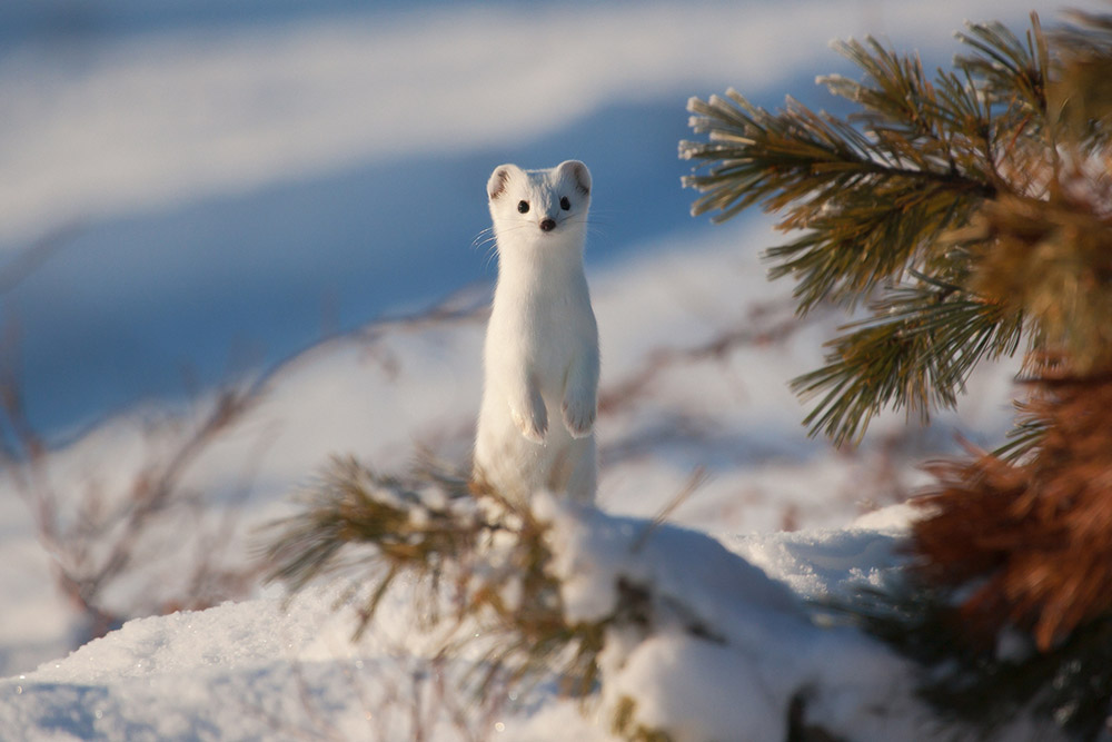 """Ermine on the Great River"""