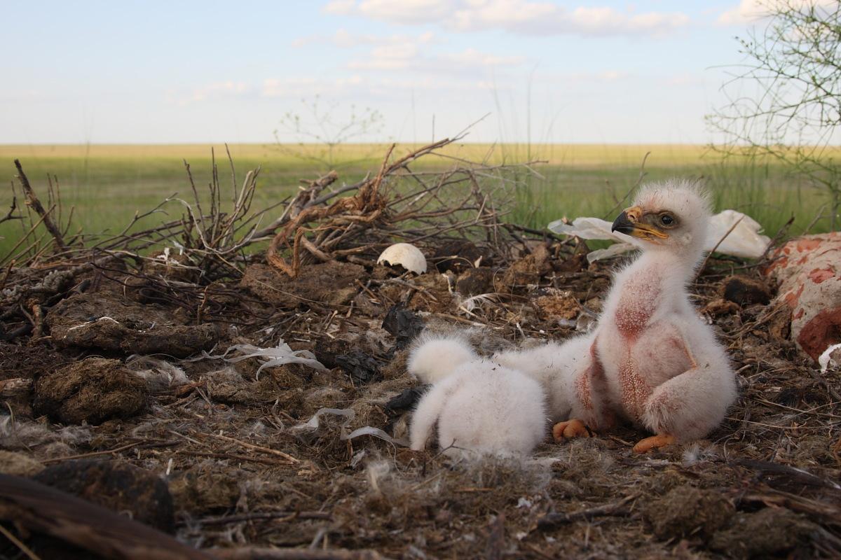 Toda criança russa aprende na escola que os pássaros migram para o sul durante o inverno. Mas isso não é completamente verdade. Tudo depende das condições climáticas a que eles se adaptaram inicialmente. Na foto, um filhote de águia.