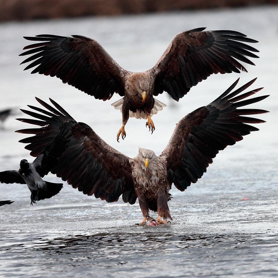 As águias marinhas são como águias em geral (ambas pertencem à família dos gaviões), e entre os pássaros russos são menores apenas em relação aos abutres. Em latitudes medianas, os jovens voam para o sul no inverno, enquanto os velhos às vezes sobrevivem o período frio em formações de água descongeladas.