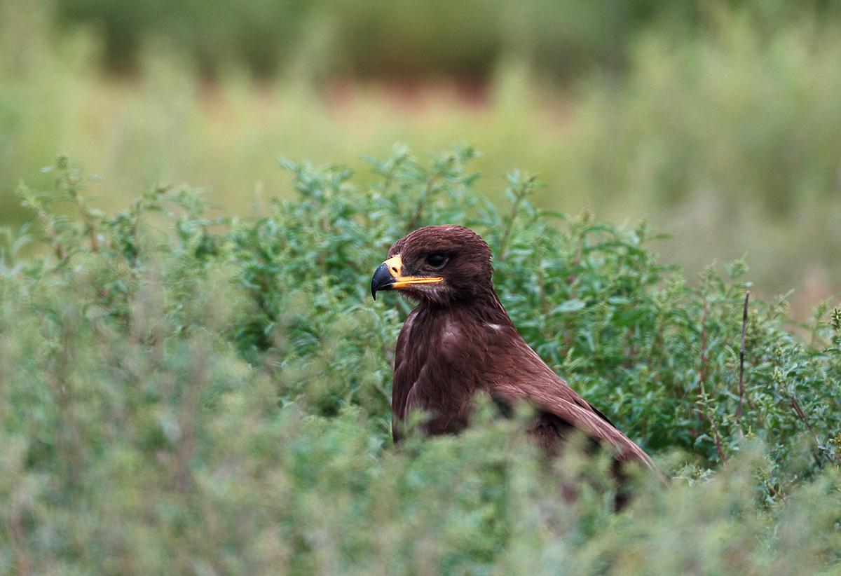 """A """"águia das estepes do leste"""" migra do sul da Sibéria à Índia e ao sul da China."""
