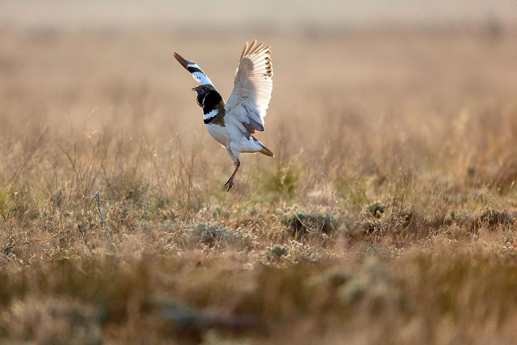 A oblast de Ástrakhan é um reduto de paz temporário a pássaros como o sisão (Tetrax tetrax), listado no Livro Vermelho. Ele faz ninhos ocasionalmente na fronteira norte da região, e no outono revoadas migratórias aparecem com até 100 pássaros.